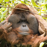 Bornean orangutan courtesy of Randall Kyes