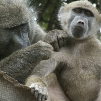 chacma baboon courtesy of Abigail Ross