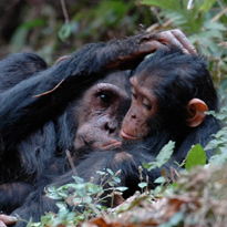 chimpanzee courtesy of Rosemarie Bryant