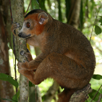 crowned lemur courtesy of Randy Junge