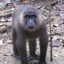 moor macaque courtesy of Paisel