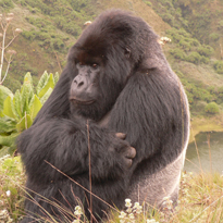 mountain gorilla courtesy of Dian Fossey Gorilla Fund