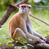 patas monkey courtesy of Fernando Campos