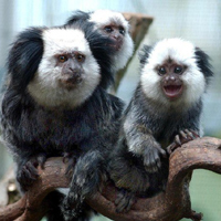 Geoffroy's marmoset courtesy of Jeffrey French